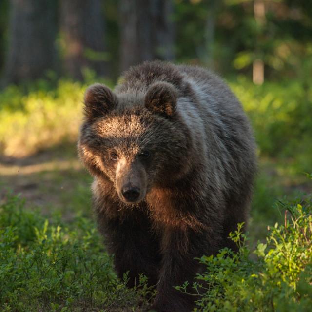 """Racoon bear"" stock image"