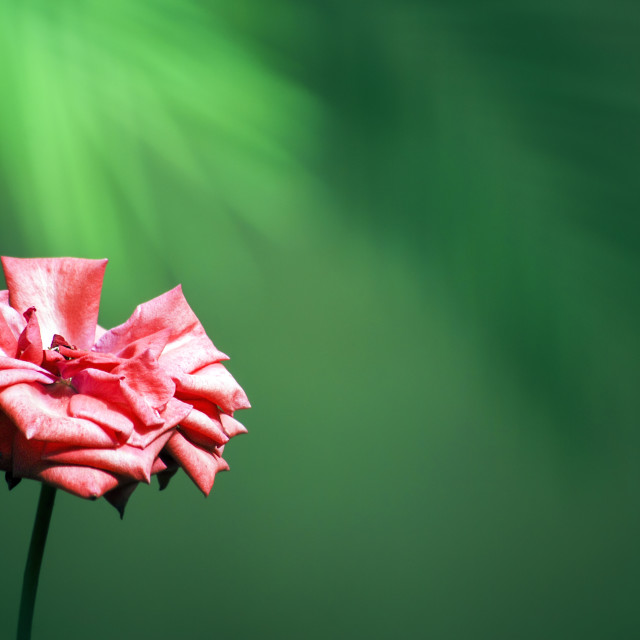 """Close up of a pink rose"" stock image"