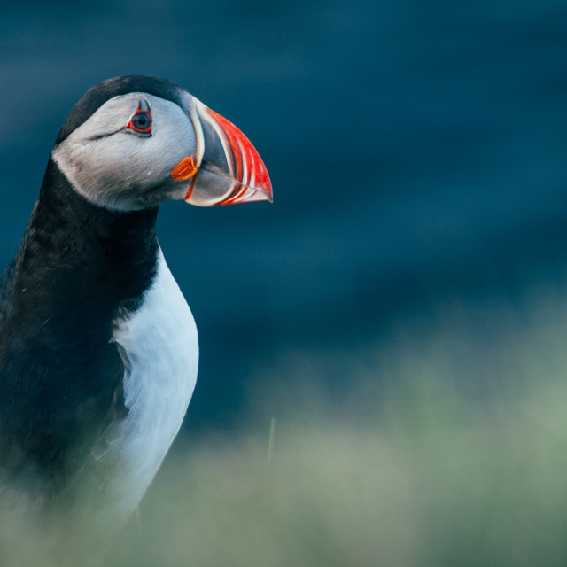 """Sky parrot: the puffin"" stock image"