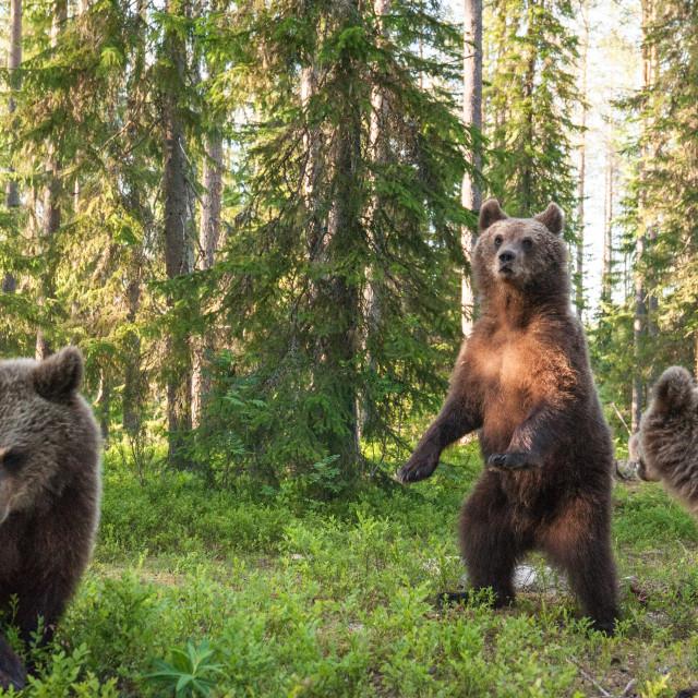 """""""Curious cubs, Finland"""" stock image"""