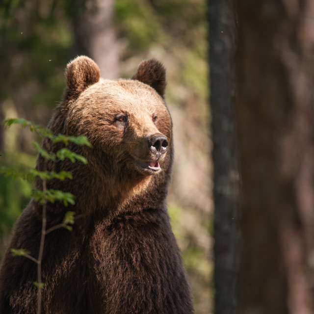 """Alert brown bear female"" stock image"