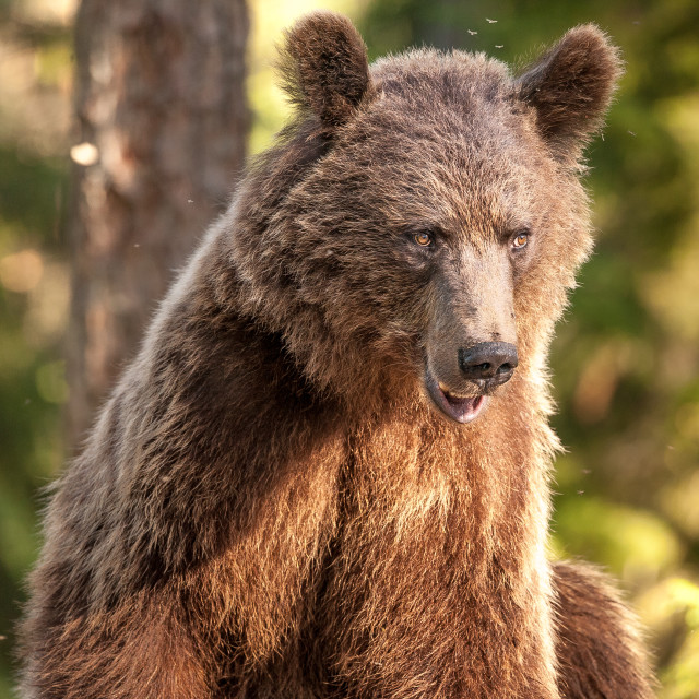 """Pensive bear"" stock image"