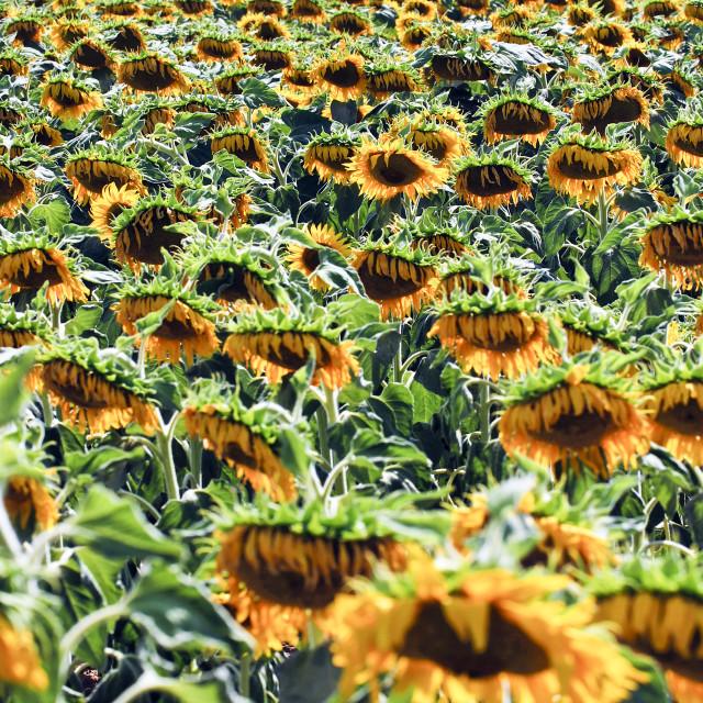 """Israel, Field of yellow sunflowers"" stock image"