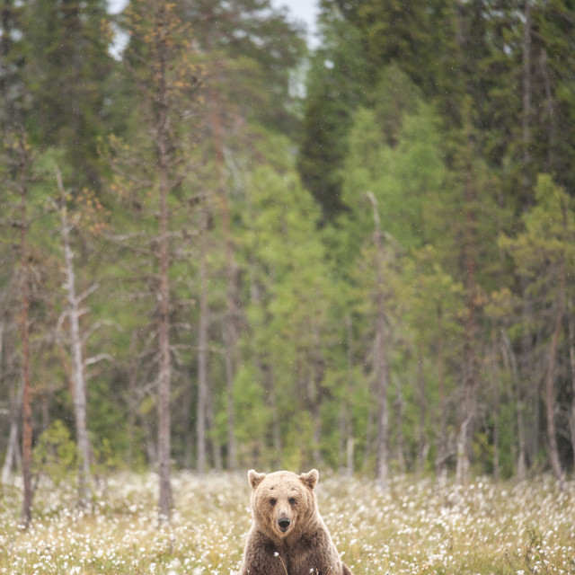 """Lazy brown bear"" stock image"