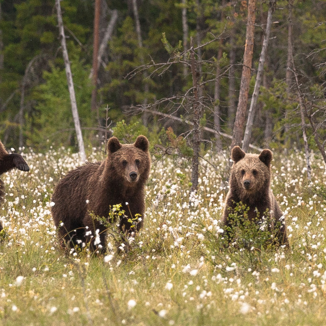 """Three little bears!"" stock image"