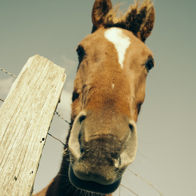 """Mare looking at camera"" stock image"