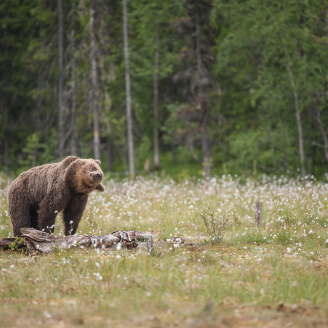 """Shake it off, brown bear, Finland"" stock image"
