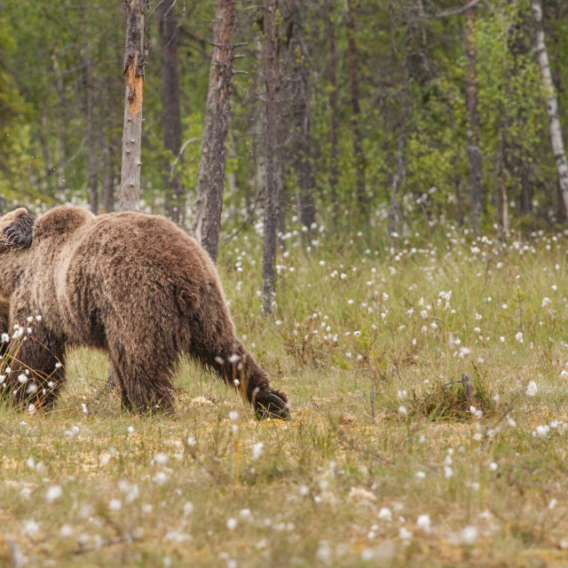 """Fighting brown bear cubs"" stock image"