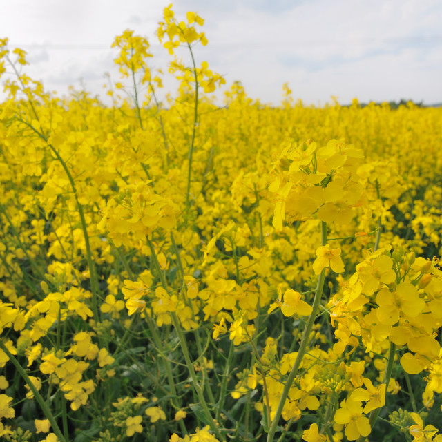 """Yellow Rapeseed flowers"" stock image"