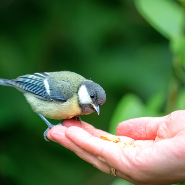"""""""Tit eating from the hand"""" stock image"""