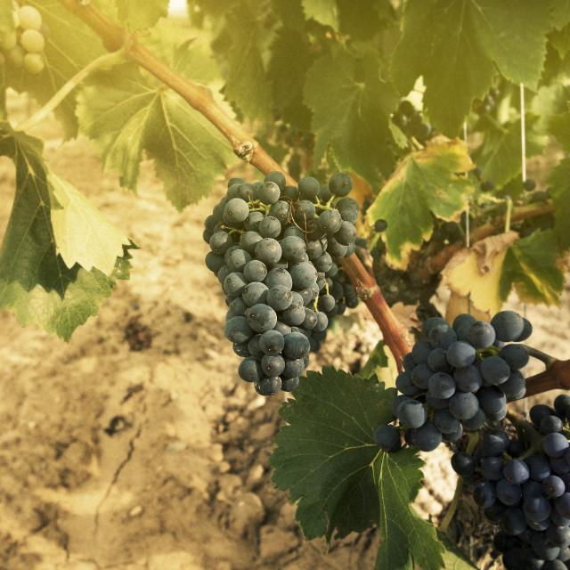 """""""Vineyard in La Rioja (Spain)"""" stock image"""
