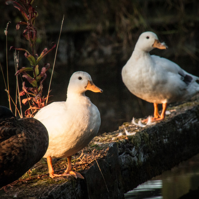 """Ducks in the morning sun"" stock image"