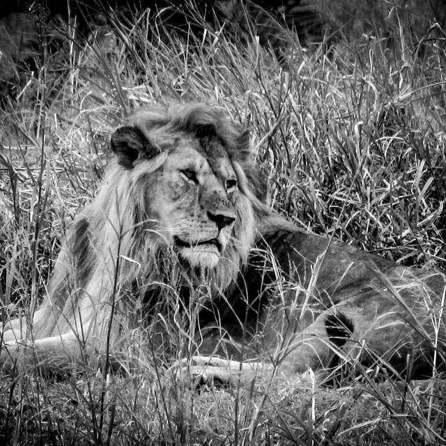 """King of the Mara"" stock image"