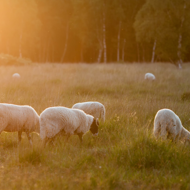 """Sheep and evening Sunshine"" stock image"