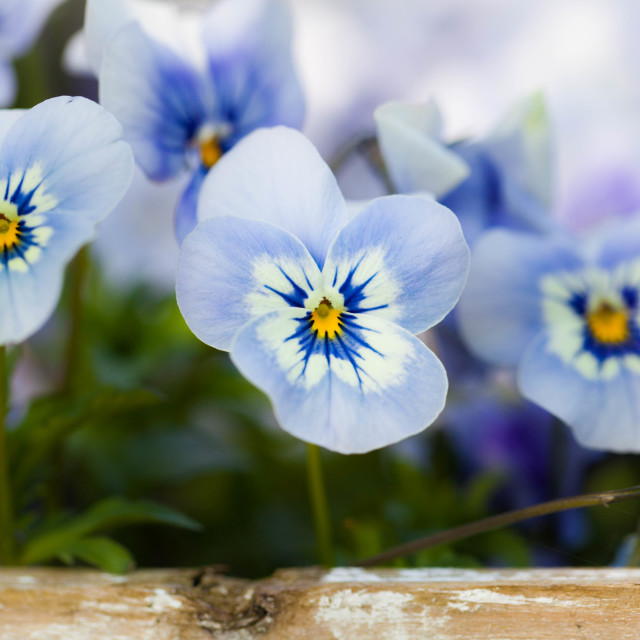 """Blue and Purple Flowers"" stock image"