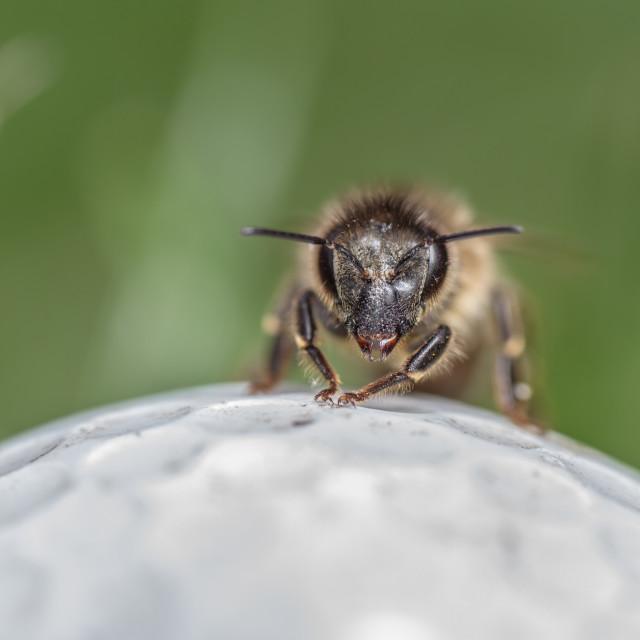 """Western Honey Bee (Apis mellifera)"" stock image"