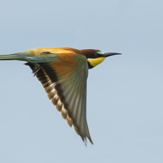 """Bee Eater in Flight"" stock image"