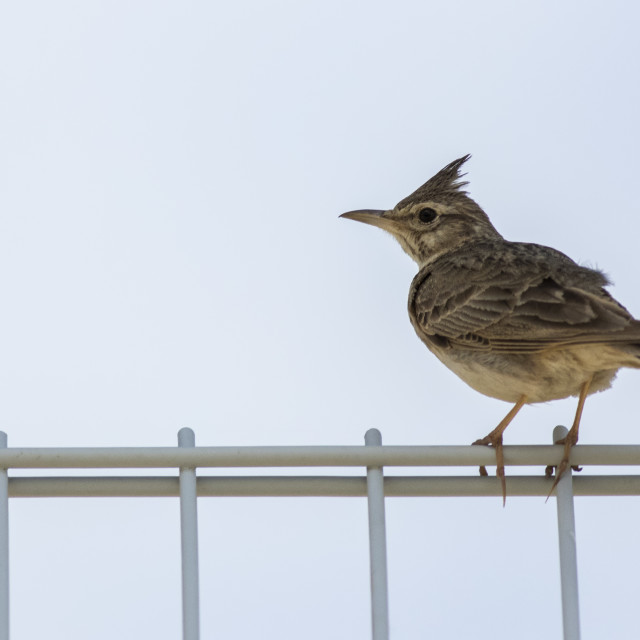 """Crested Lark"" stock image"
