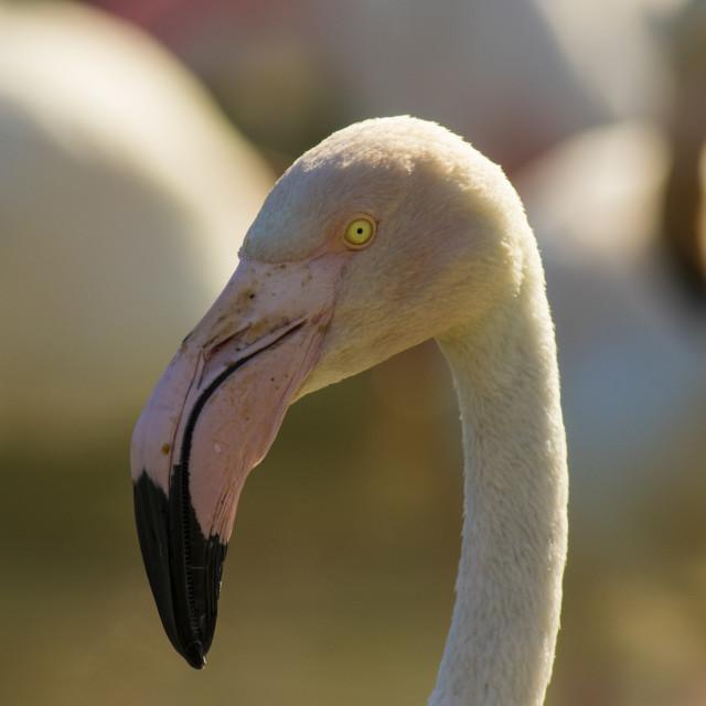 """Greater Flamingo Close up"" stock image"