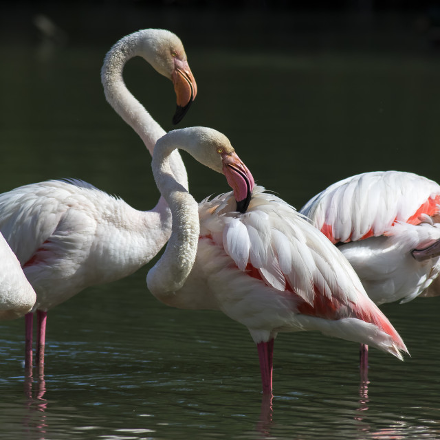 """Greater Flamingos"" stock image"