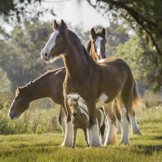 """Miniature Clydesdale1212F2"" stock image"