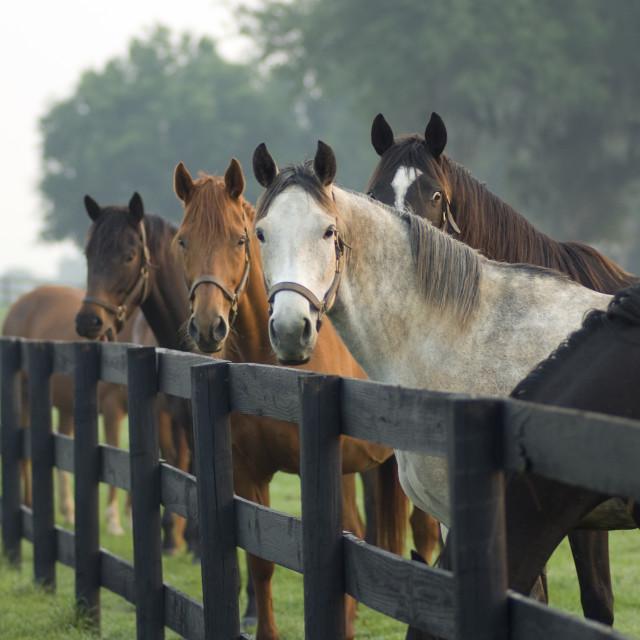 """""""1315B Thoroughbred Horses"""" stock image"""