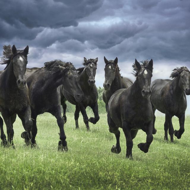 """""""1395-25C Percheron Horses"""" stock image"""