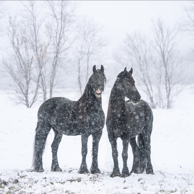 """1488-19A1 Friesian Horse mares"" stock image"
