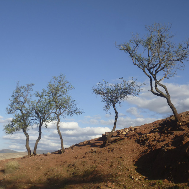"""""""Spindly Trees in the Sahara"""" stock image"""