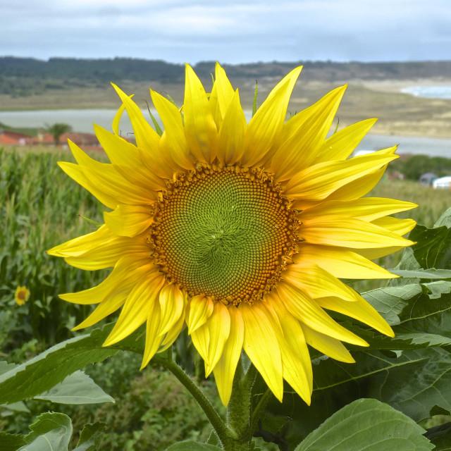 """Sunflower Beach Smiles"" stock image"