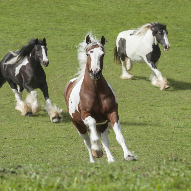 """""""1521-37A Gypsy Vanner Horses"""" stock image"""