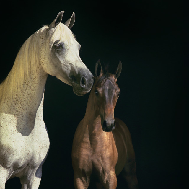 """2006 Arabian mare with foal"" stock image"