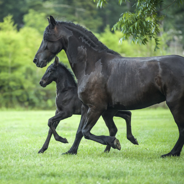"""2377-20 Friesian horse mare and foal"" stock image"