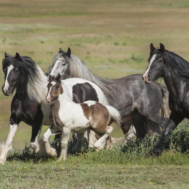 """4358-21B Herd of Gypsy Vanner Horses"" stock image"