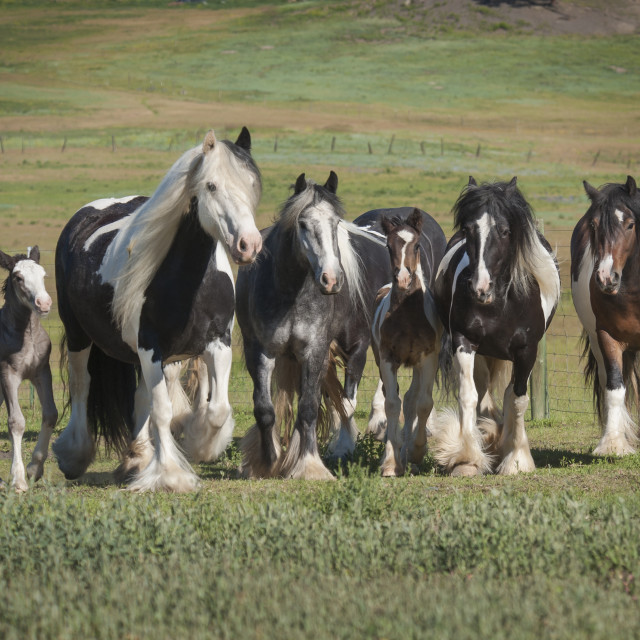 """""""4358-6 Herd of Gypsy Vanner Horses"""" stock image"""