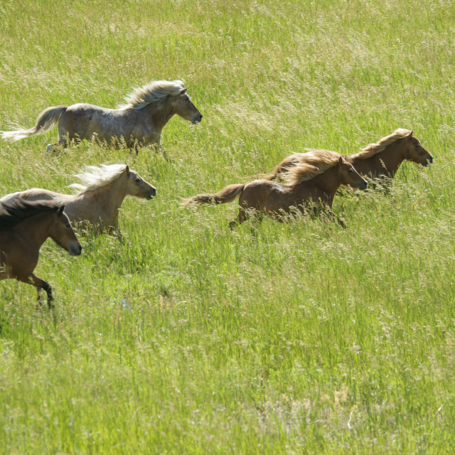"""4360-7 Herd of Miniature horses"" stock image"