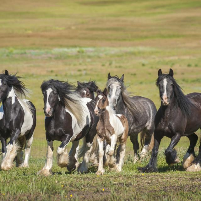 """""""4358-24 Herd of Gypsy Vanner Horses"""" stock image"""