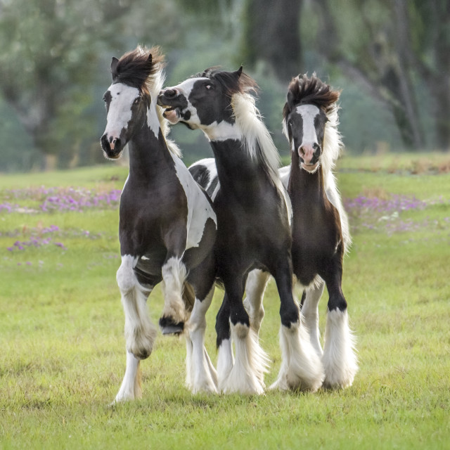 """""""6130D1 Gypsy Vanner Horse yearlings"""" stock image"""