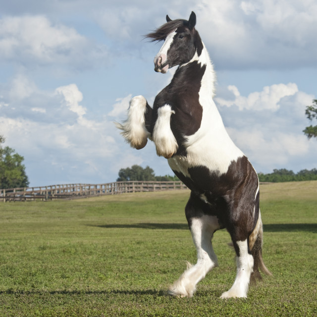 """6274-13 Gypsy Vanner Horse Rearing"" stock image"