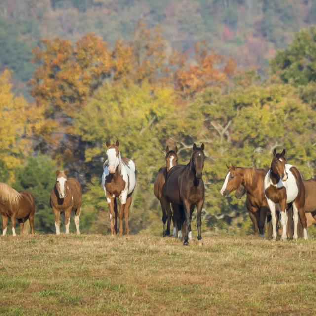 """6218-16 Herd of horses stand on ridge"" stock image"