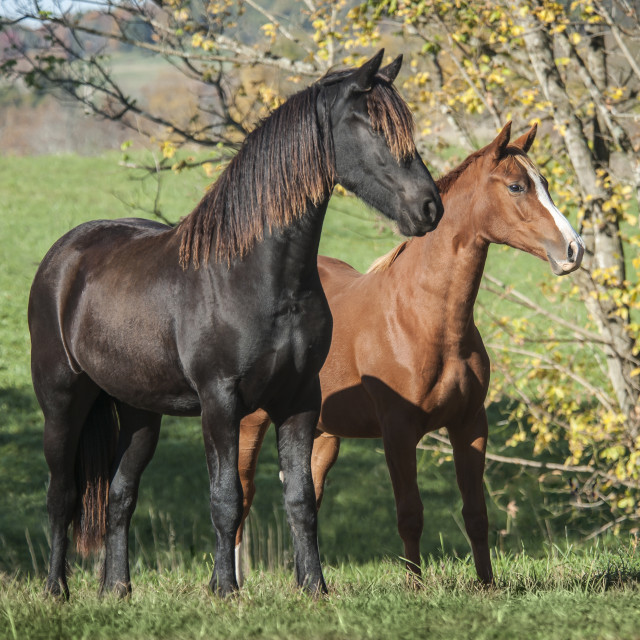 """6281-9 Friesian and Warmblood weanling horses"" stock image"