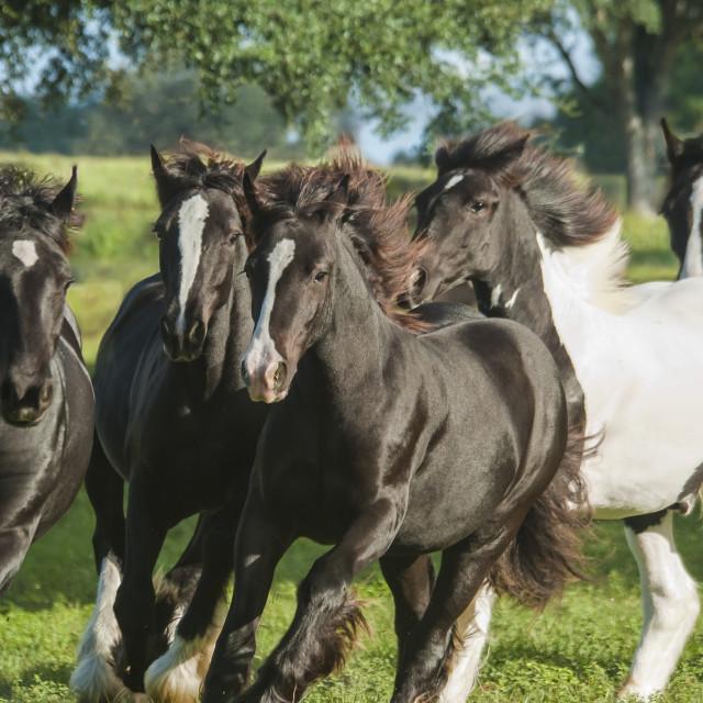 """6265-6 Gypsy Vanner Horse weanling herd"" stock image"