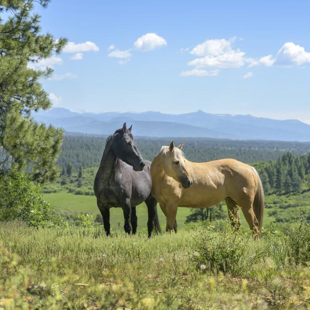 """""""4400-9A Quarter Horse mares"""" stock image"""