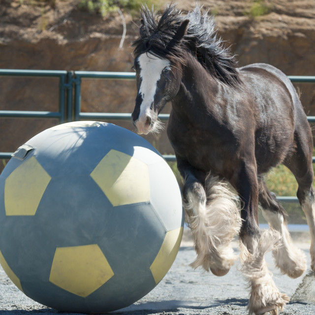 """6305-8 Gypsy Vanner Horse colt"" stock image"