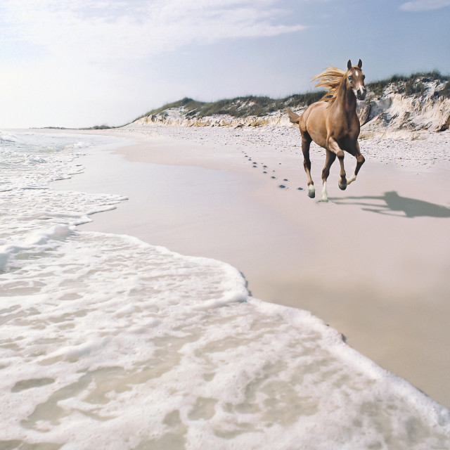 """7007A Arabian stallion on beach"" stock image"