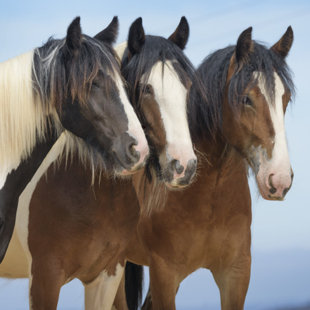 """6334-21 Gypsy Vanner Horses"" stock image"