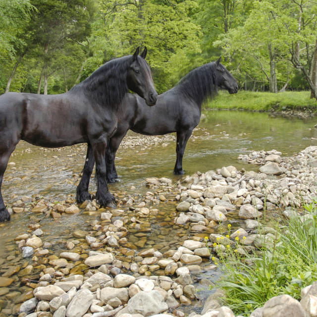 """7207D Friesian Horse mares"" stock image"
