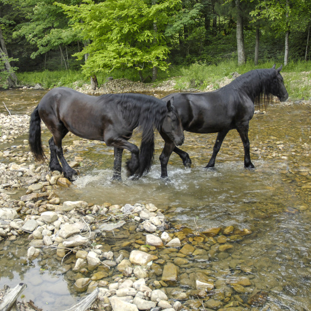 """7207K Friesian Horse mares"" stock image"