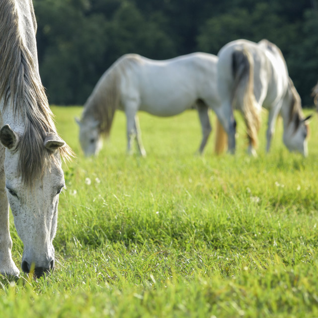 """7402-8 Andalusian horse mares grazing"" stock image"