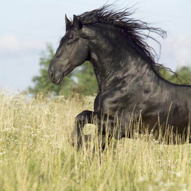 """8401D Friesian Horse stallion"" stock image"